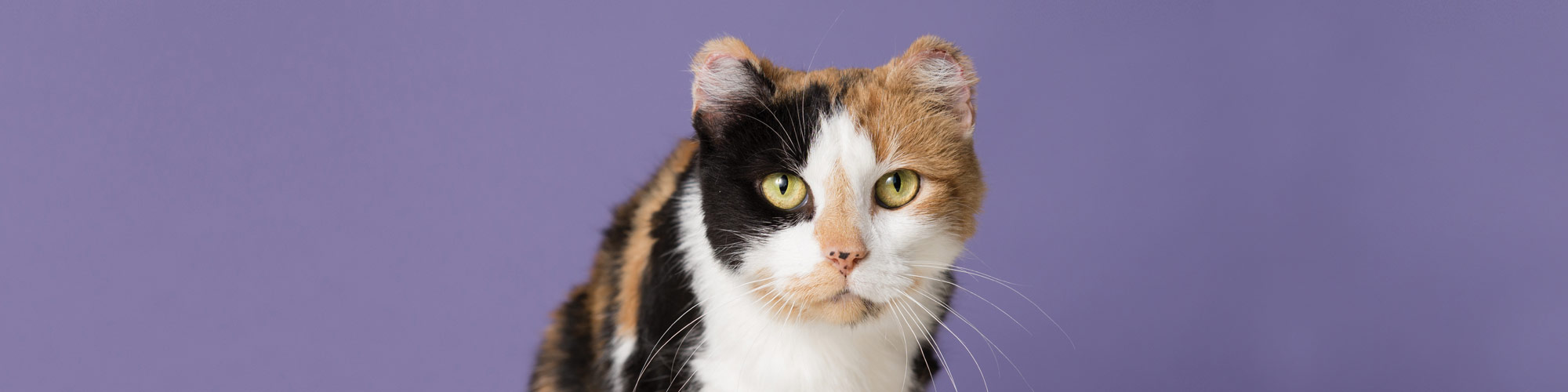 A cat with white, brown, and black markings looks forward at the camera